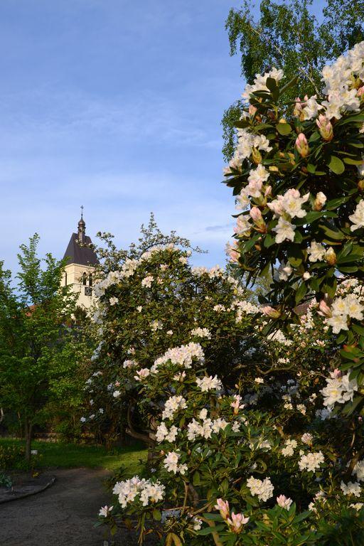 Kwitnące rododendrony w parafialnym Ogrodzie Botanicznym.jpeg