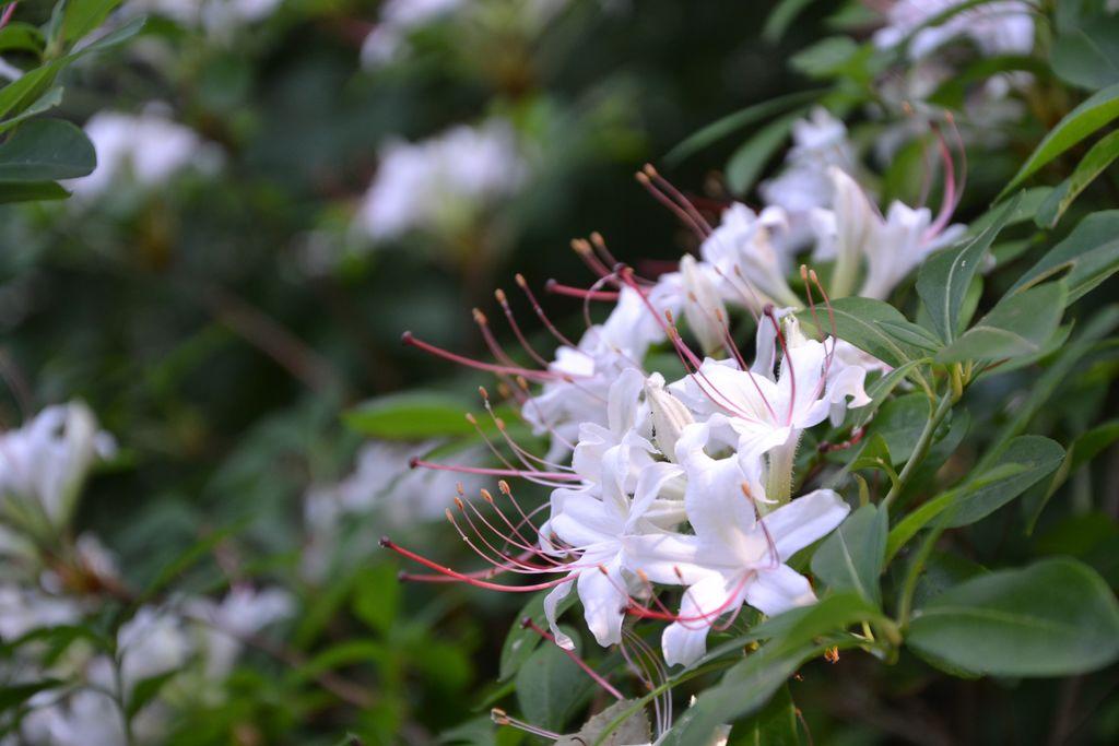 Kwitnąca azalia w parafialnym Ogrodzie Botanicznym .jpeg